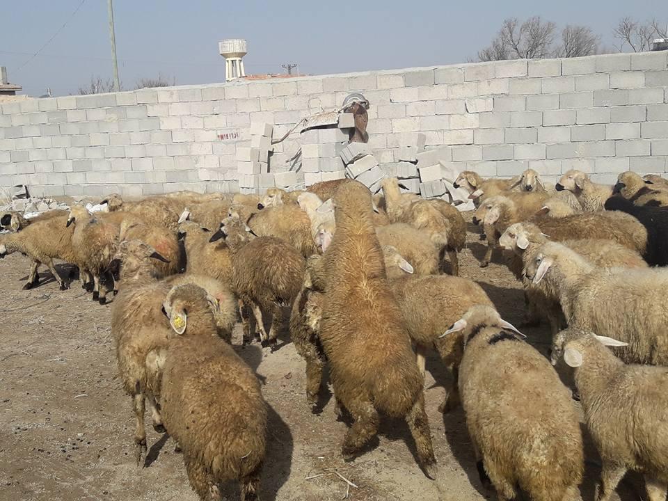 Koyunlarda ikiz kuzulama