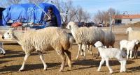 Aksaray'da Çobanlar Yarışacak