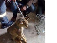 Gölyazı'da aç kalan sazlık kedisi eve girdi