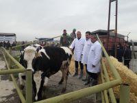 Aksaray'da 37 aileye 2'şer baş Holstein ırkı gebe düve ve yem dağıtımı!